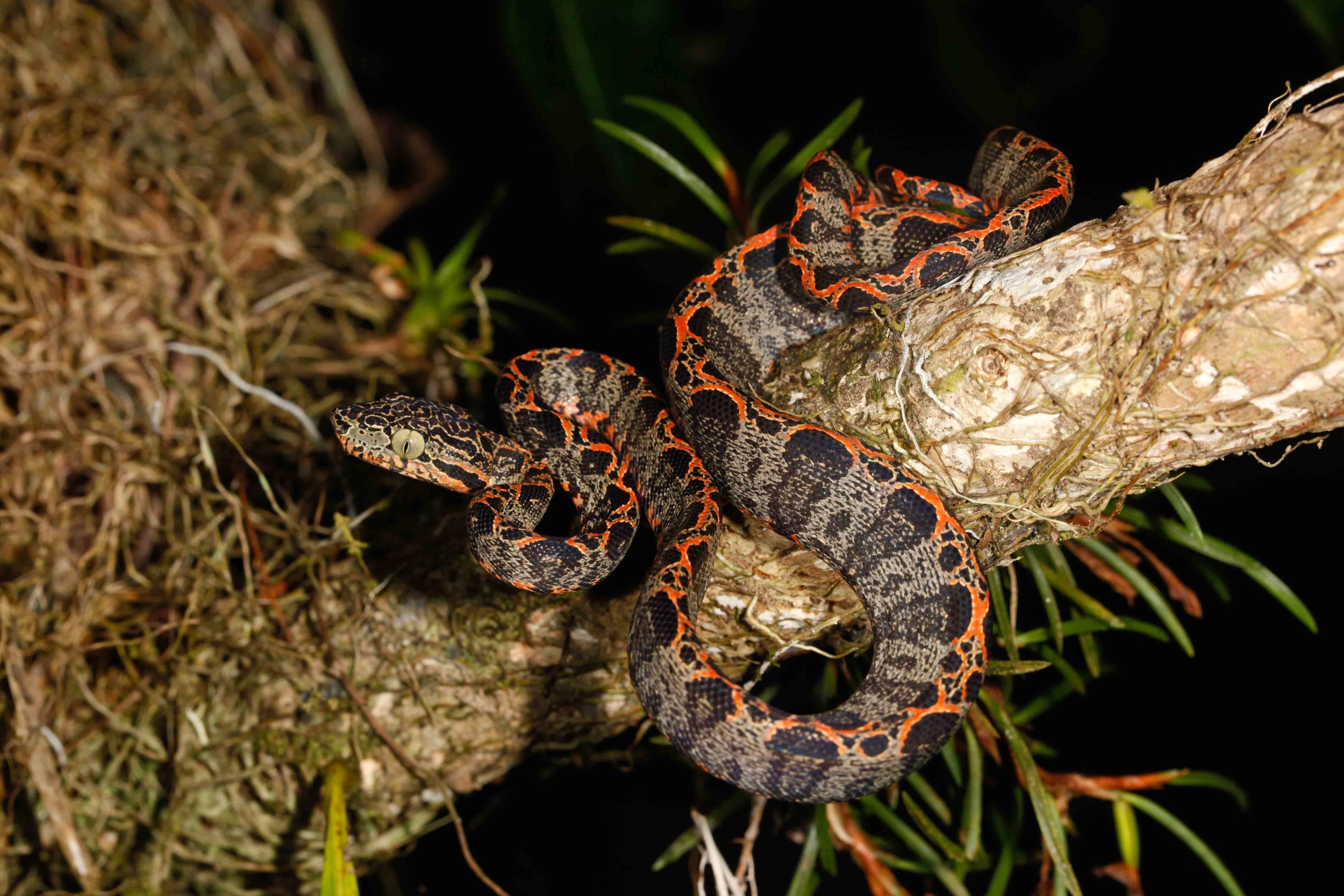 Corallus hortulanus, Amazon Tree Boa (Photo by Matt Cage)