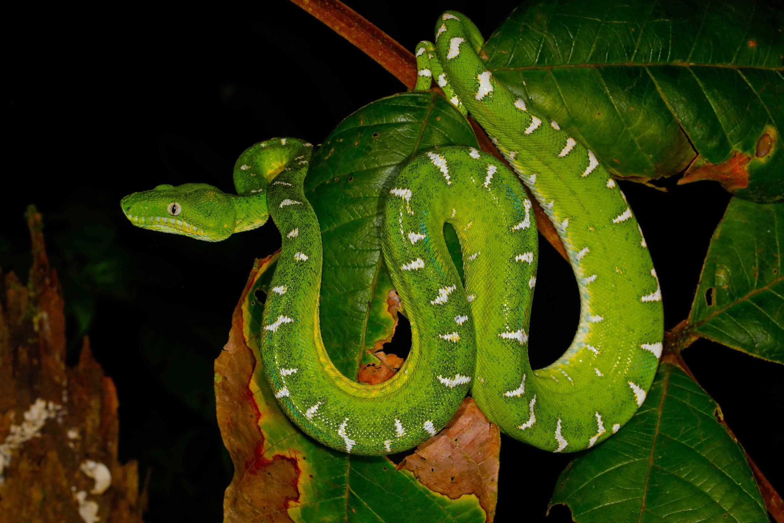 Corallus batesii, Emerald Tree Boa (Photo by Matt Cage)