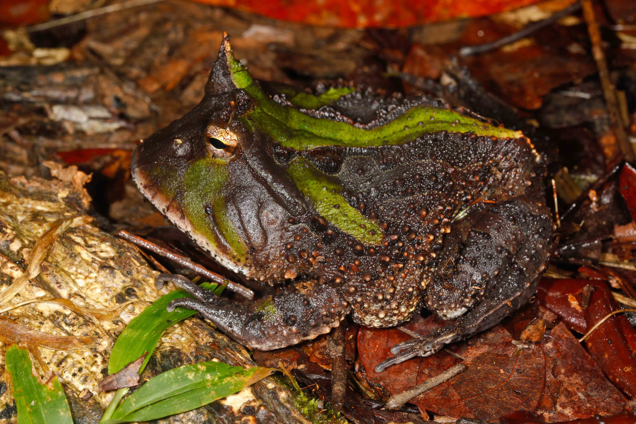Ceratophrys cornuta, Surinam Horned Frog (Photo by Matt Cage)