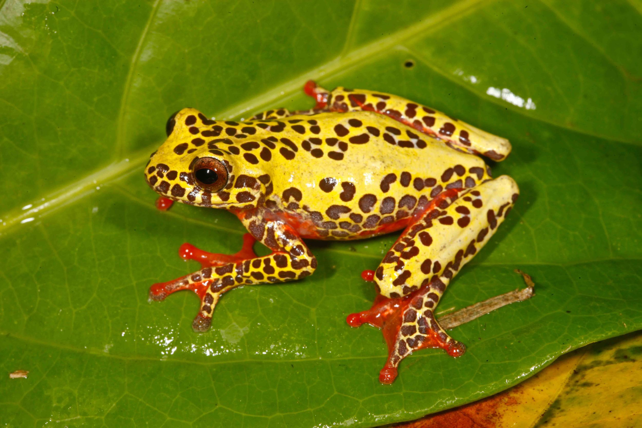 Dendropsophus triangulum, Variable Clown Treefrog (Photo by Matt Cage)