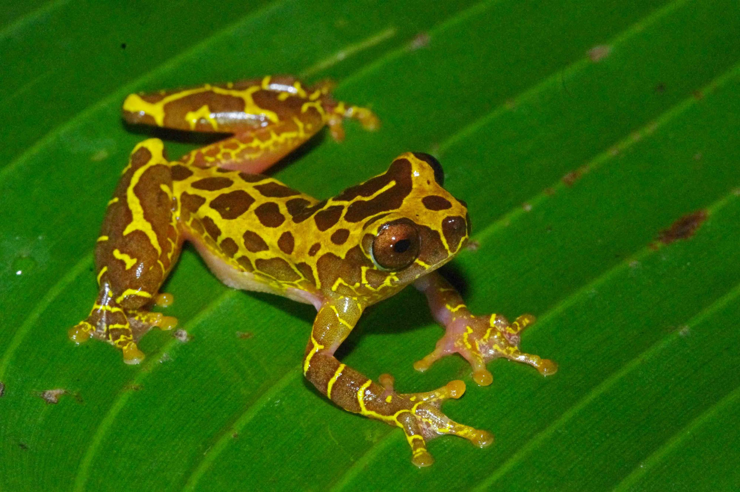 Dendropsophus leucophyllatus, Clown Treefrog (photo by Matt Cage)