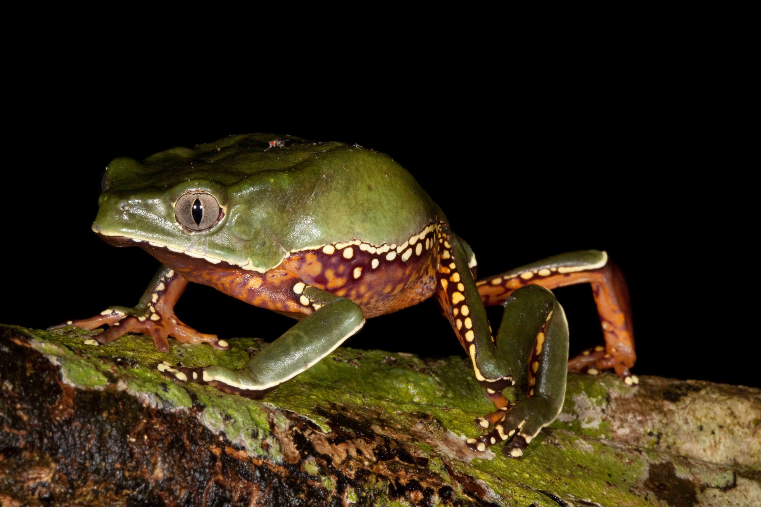 Phyllomedusa bicolor, Giant Monkey Frog (Photo by Matt Cage)