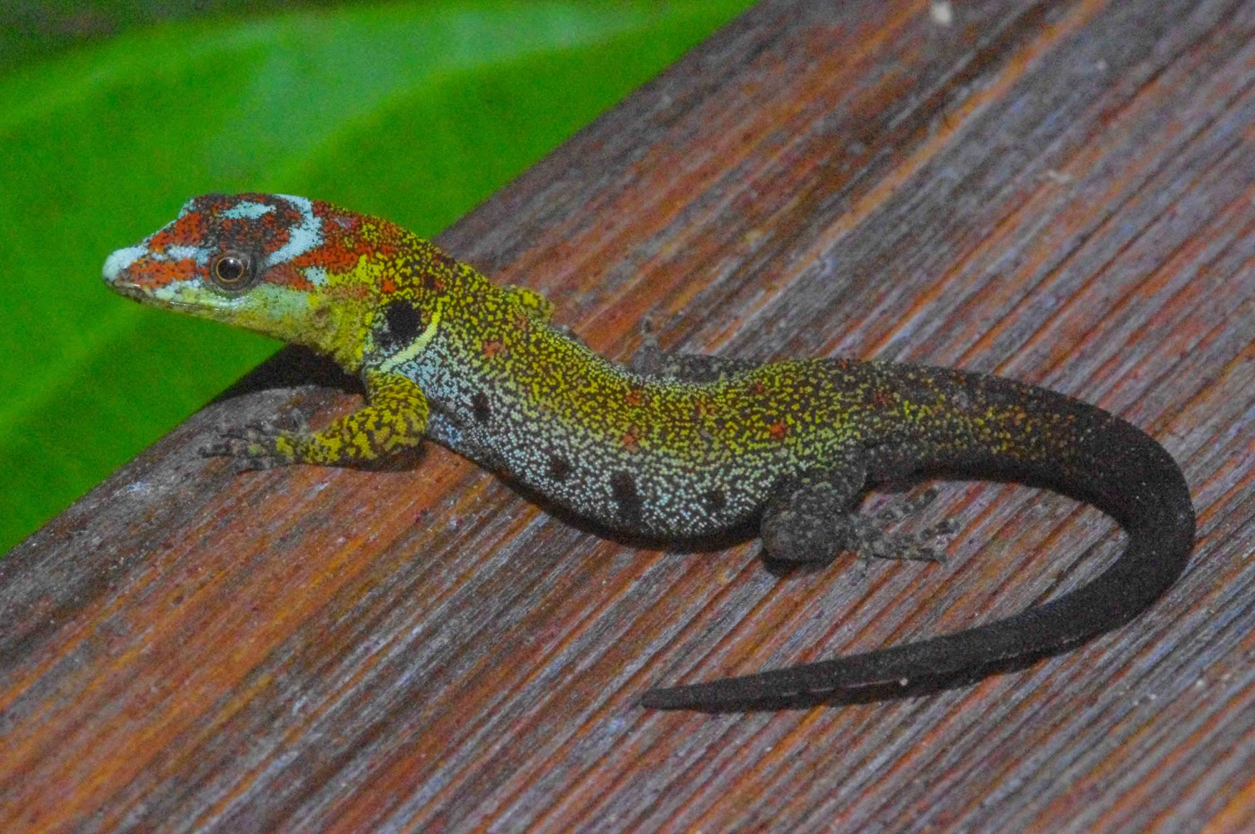 Gonatodes humeralis, Bridled Forest Gecko (Photo by Matt Cage)
