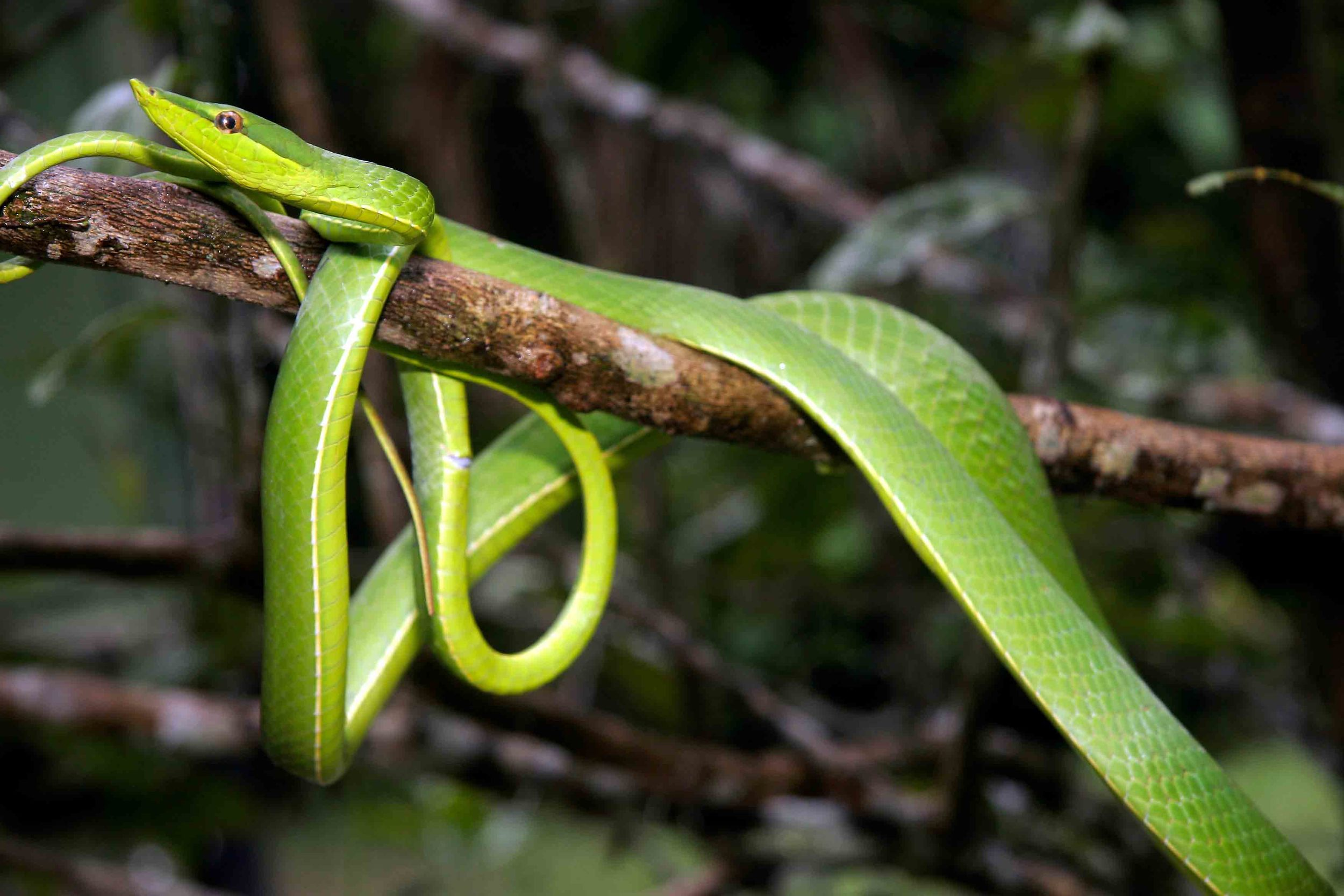 Oxybelis fulgidus, Green Vine Snake (Photo by Matt Cage)