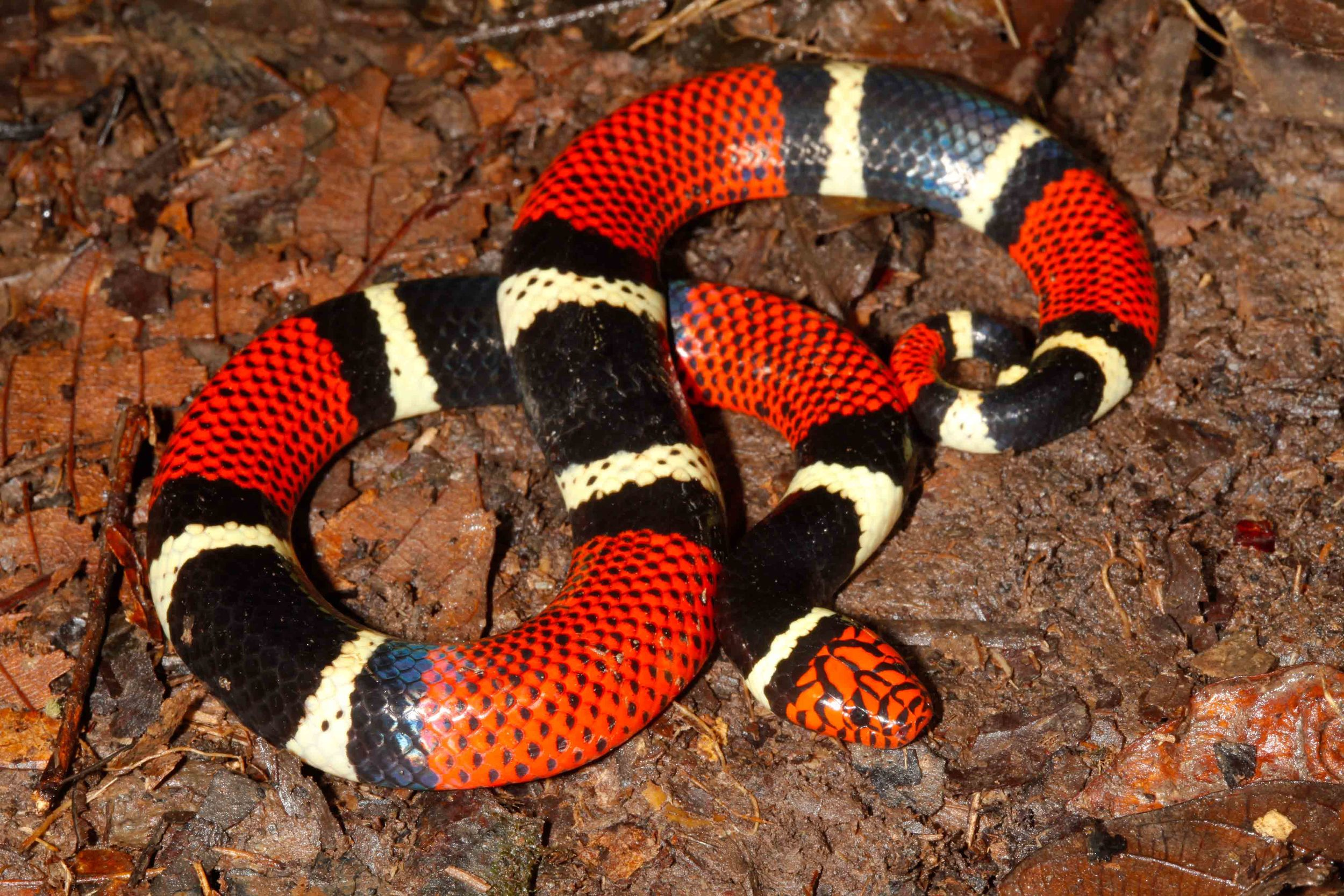 Micrurus surinamensis, Aquatic Coral Snake (Photo by Matt Cage)