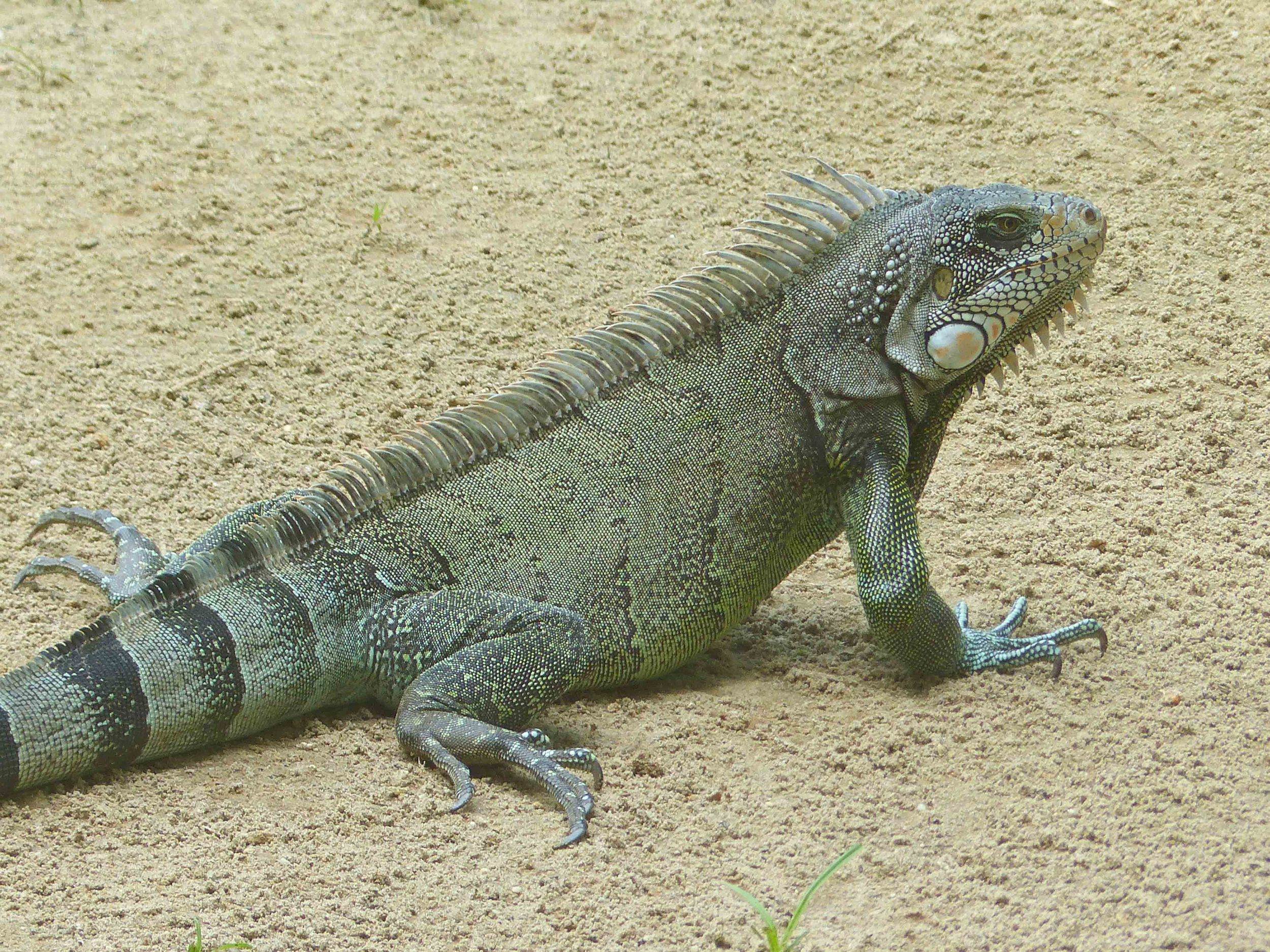 Iguana iguana, Green Iguana (Photo by Matt Cage)