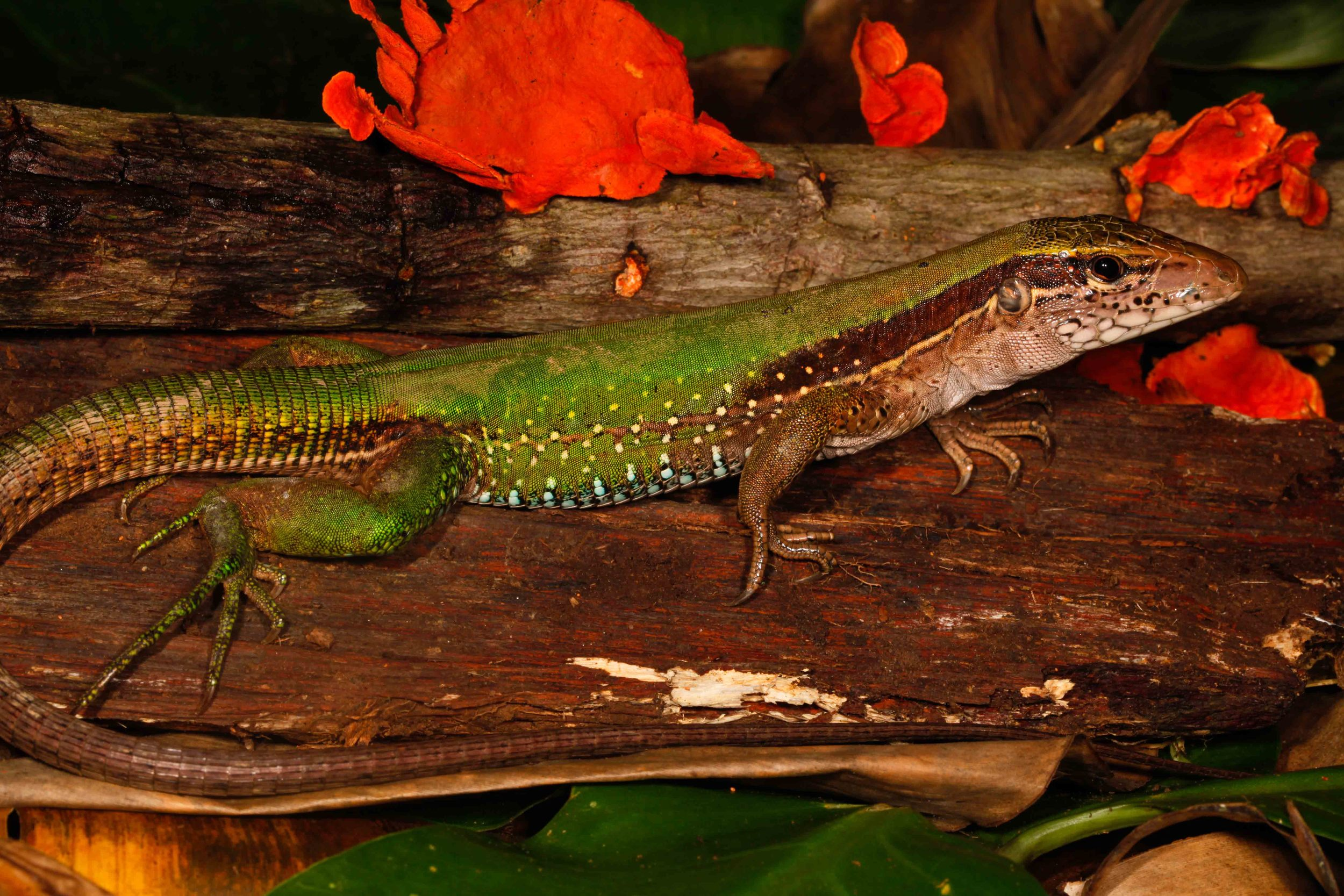 Ameiva ameiva, Amazon Whiptail (Photo by Matt Cage)