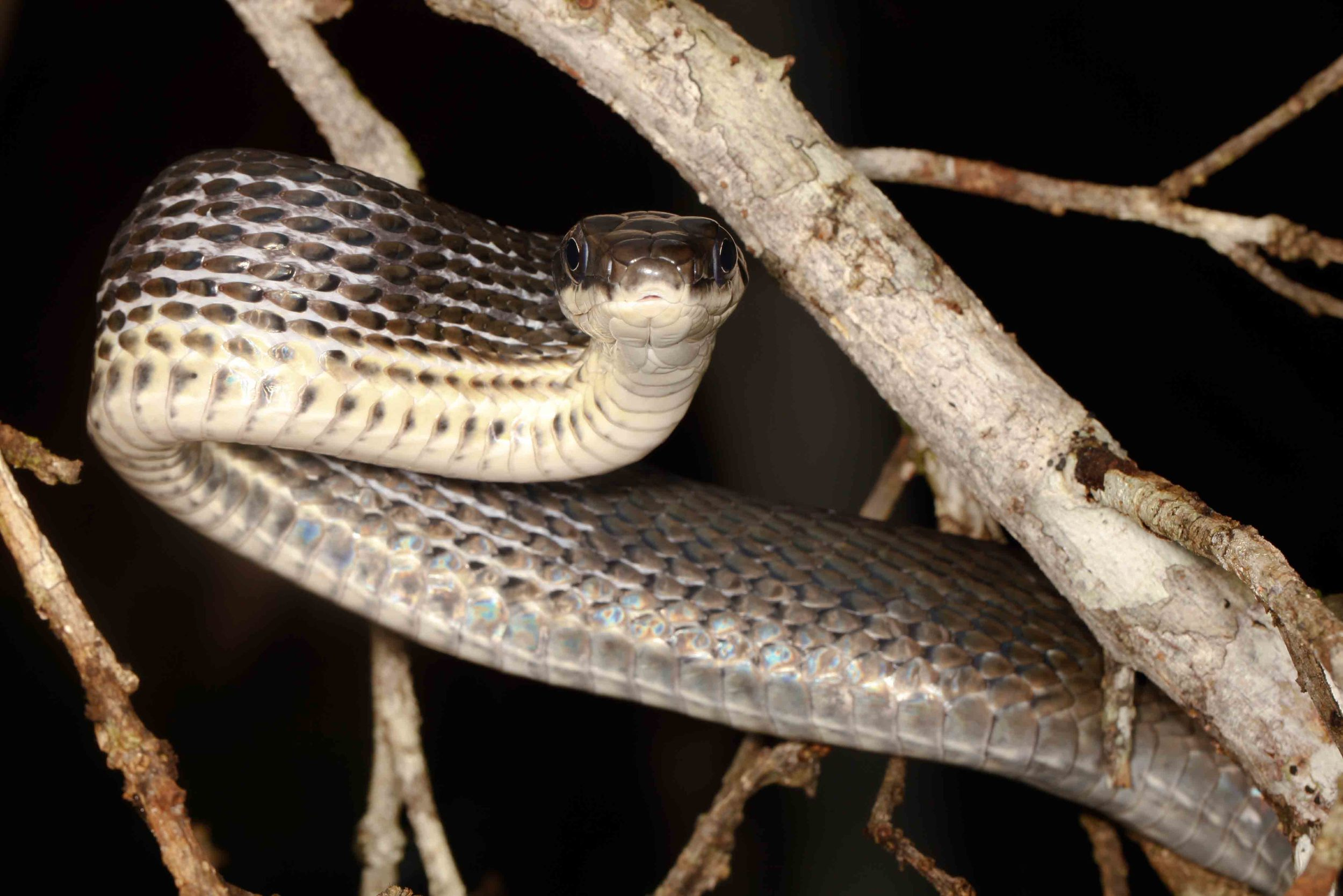 Phrynonax (Pseustes) poecilonotus, Common Bird Snake (Photo by Matt Cage)