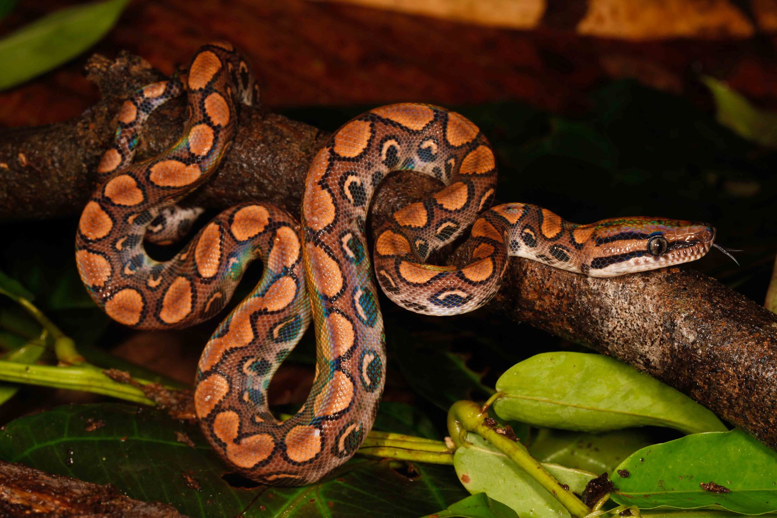 Epicrates cenchria, Peruvian Rainbow Boa (Photo by Matt Cage)
