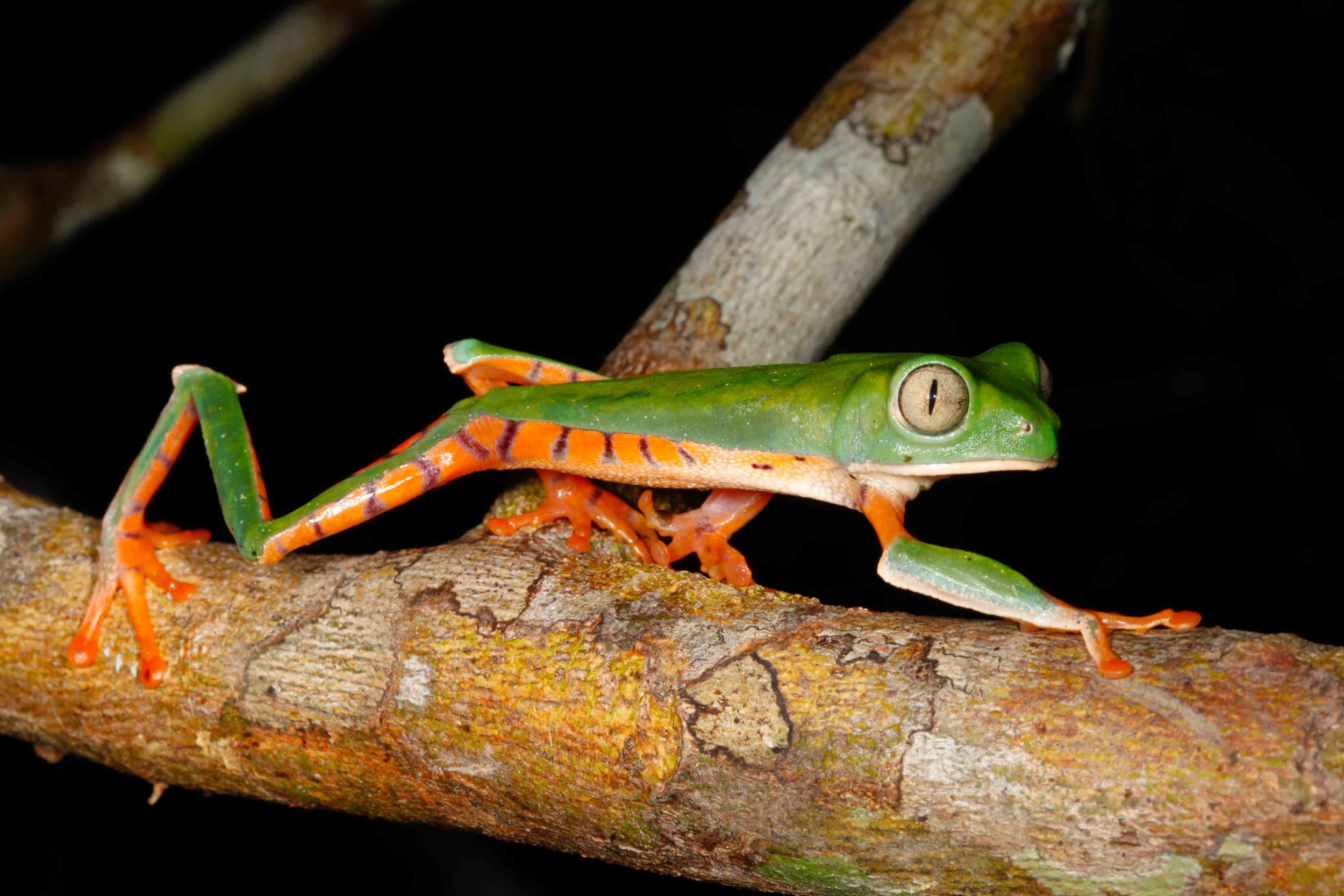 Phyllomedusa tomopterna, Barred Monkey Frog (Photo by Matt Cage)