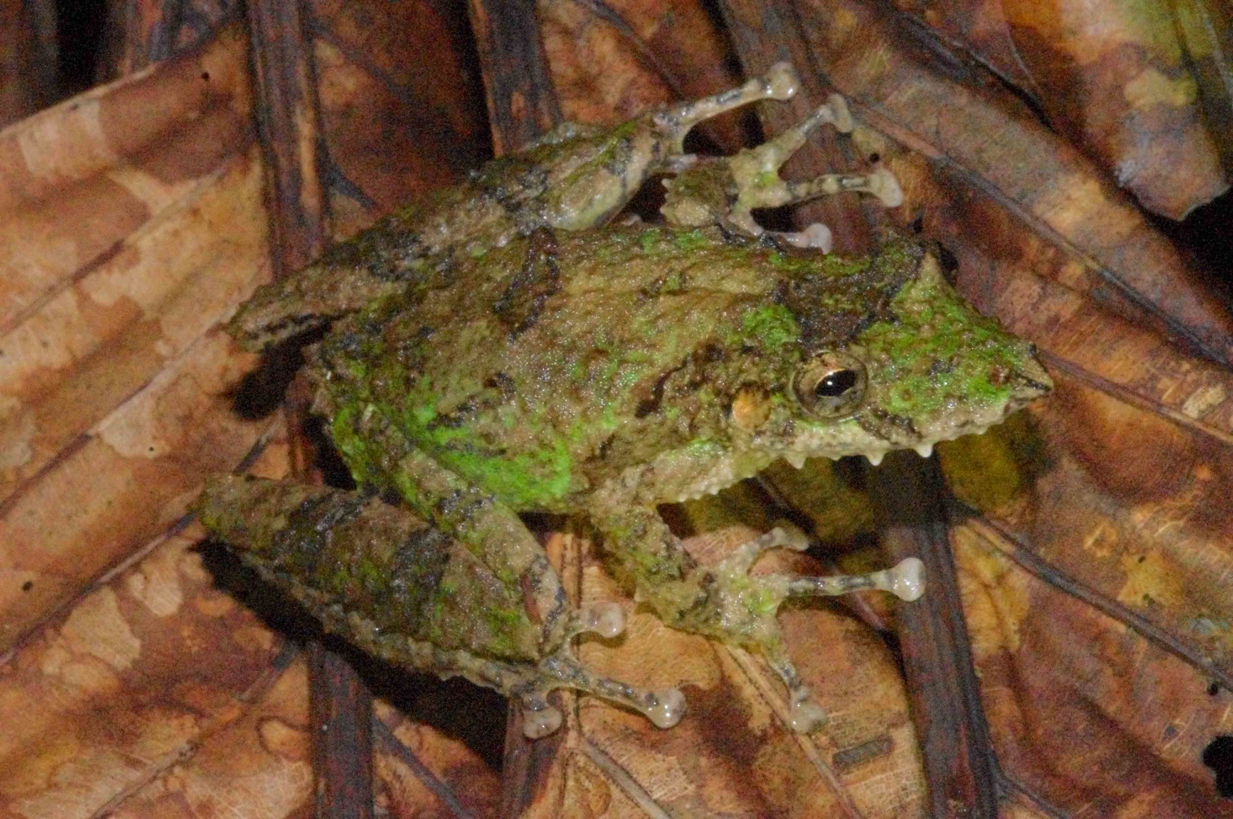 Scinax garbei, Fringe Lipped Treefrog (Photo by Matt Cage)