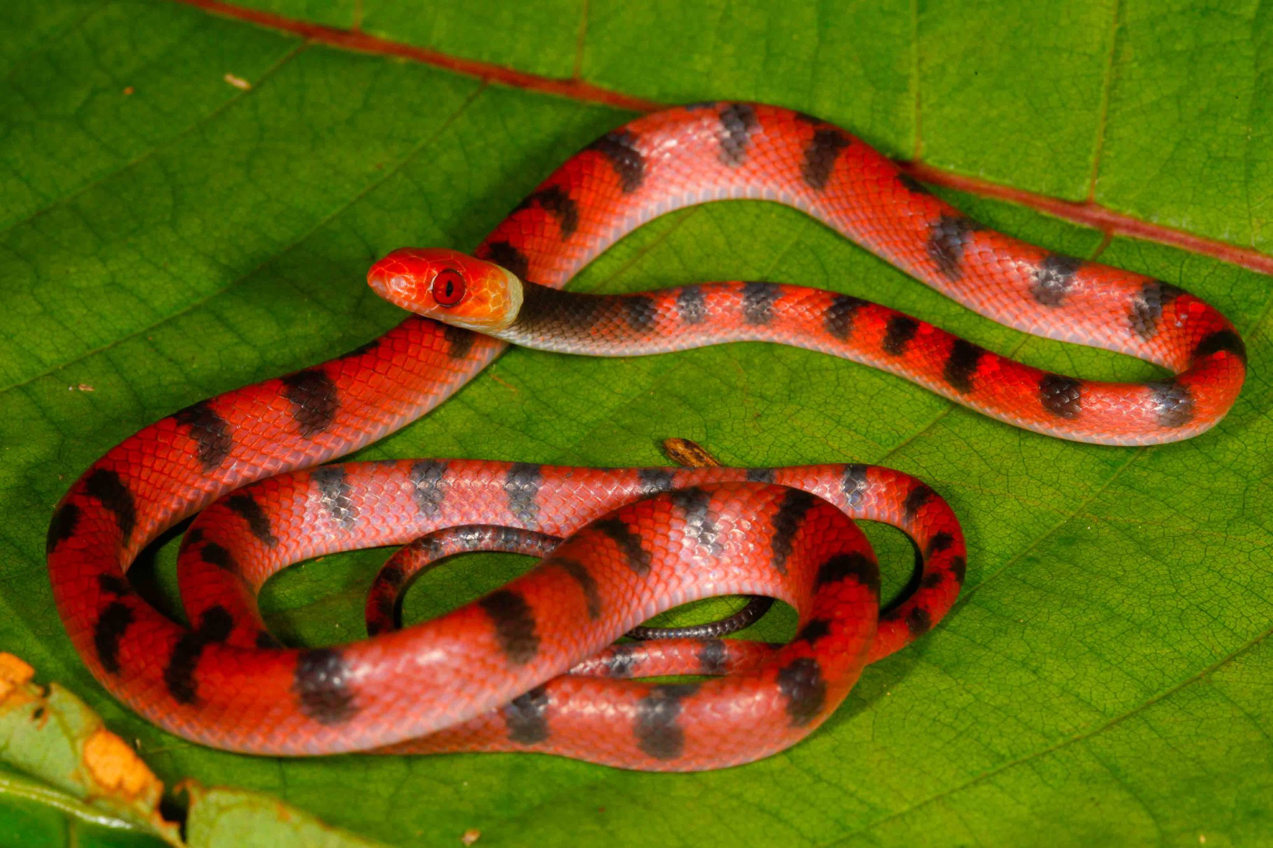 Siphlophis compressus, Red Vine Snake (Photo by Matt Cage)