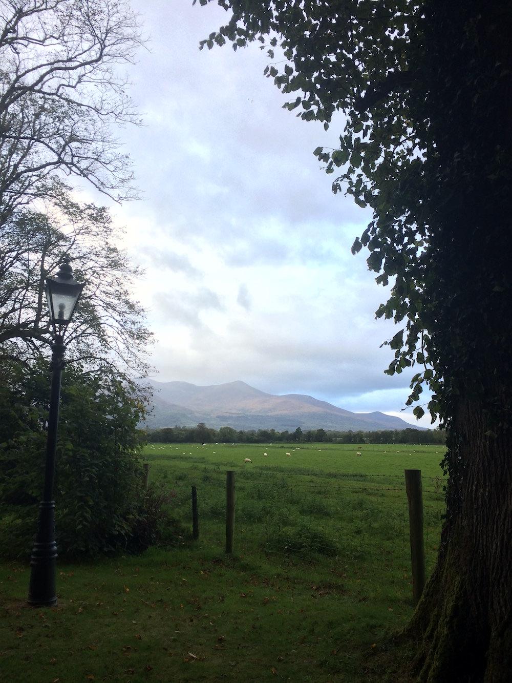 Sheep in a field in Ireland.JPG