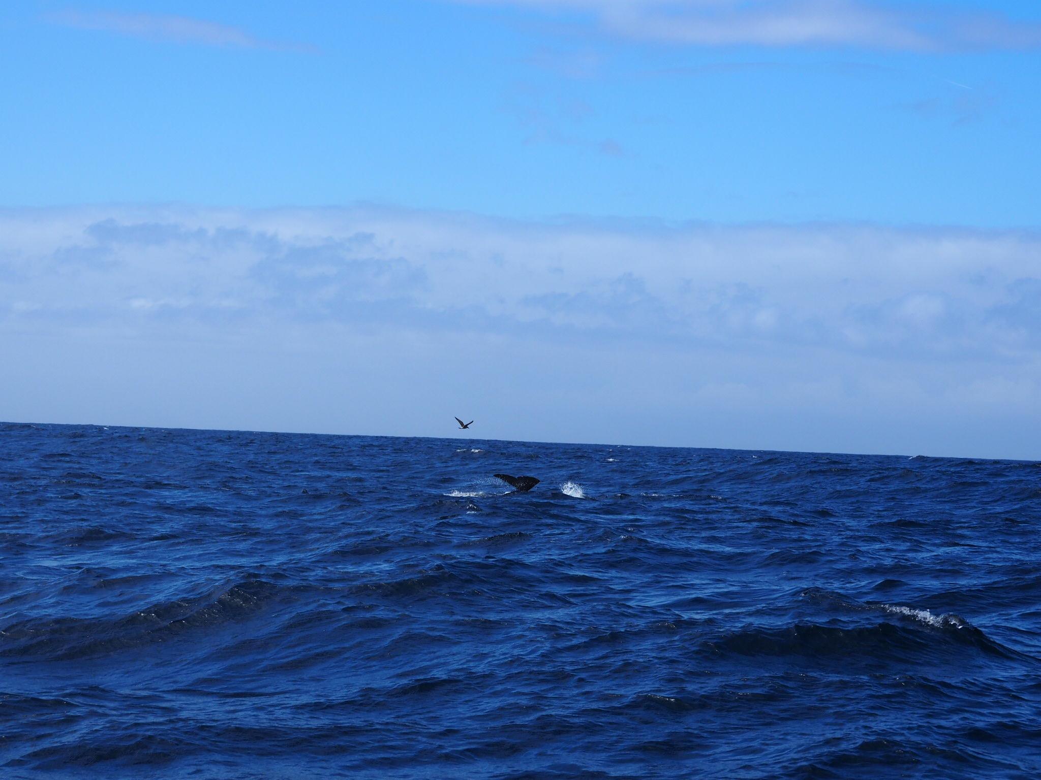A juvenile sperm whale attempting a dive!
