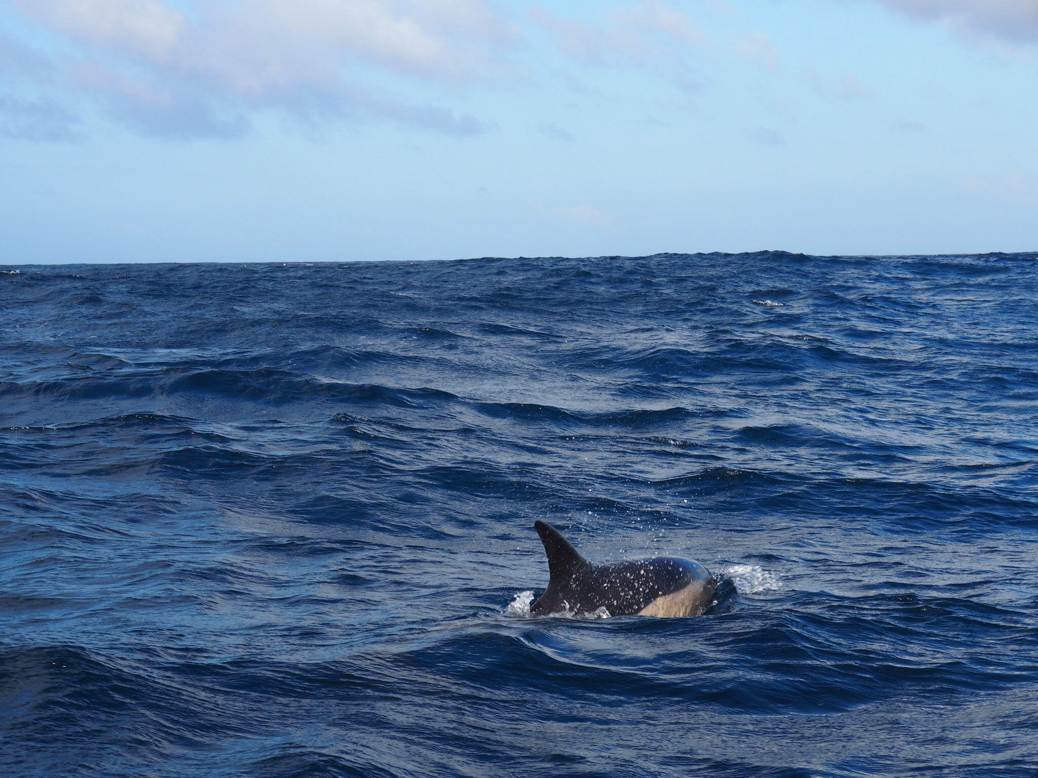 The common dolphin, whipping through the waves!