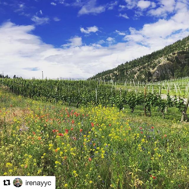 #Repost @irenayyc with @get_repost ・・・ Welcomed by a field of wildflowers - today's event is gonna be awesome!  #eventday #chefmeetsbcgrape #eventplanner #okanagan #okanaganevents
