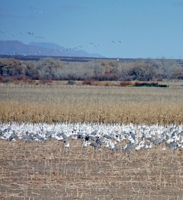 Snow Geese And Cranes