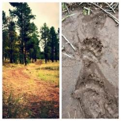 Finding bear tracks on an elk hunt, 2015