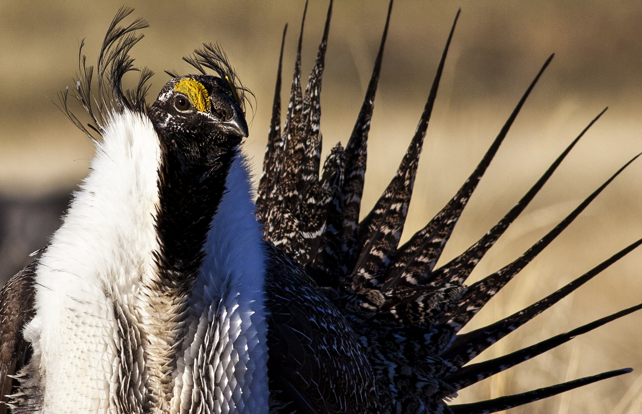 Greater Sage-Grouse (Photo credit: Bureau of Land Management)