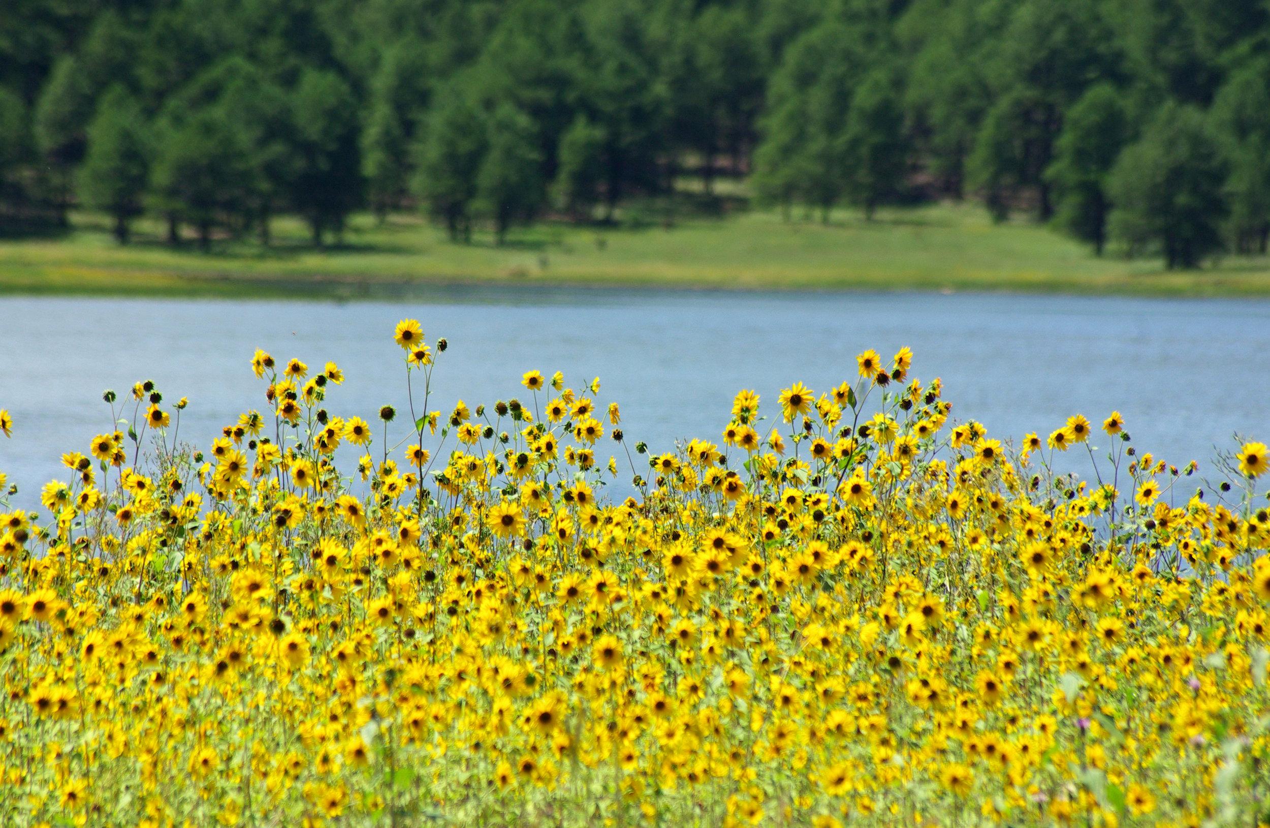 Sunflowers along the hillside that flanks the shores of Lake Mary | Taken 8 22 10 by Gary Garner