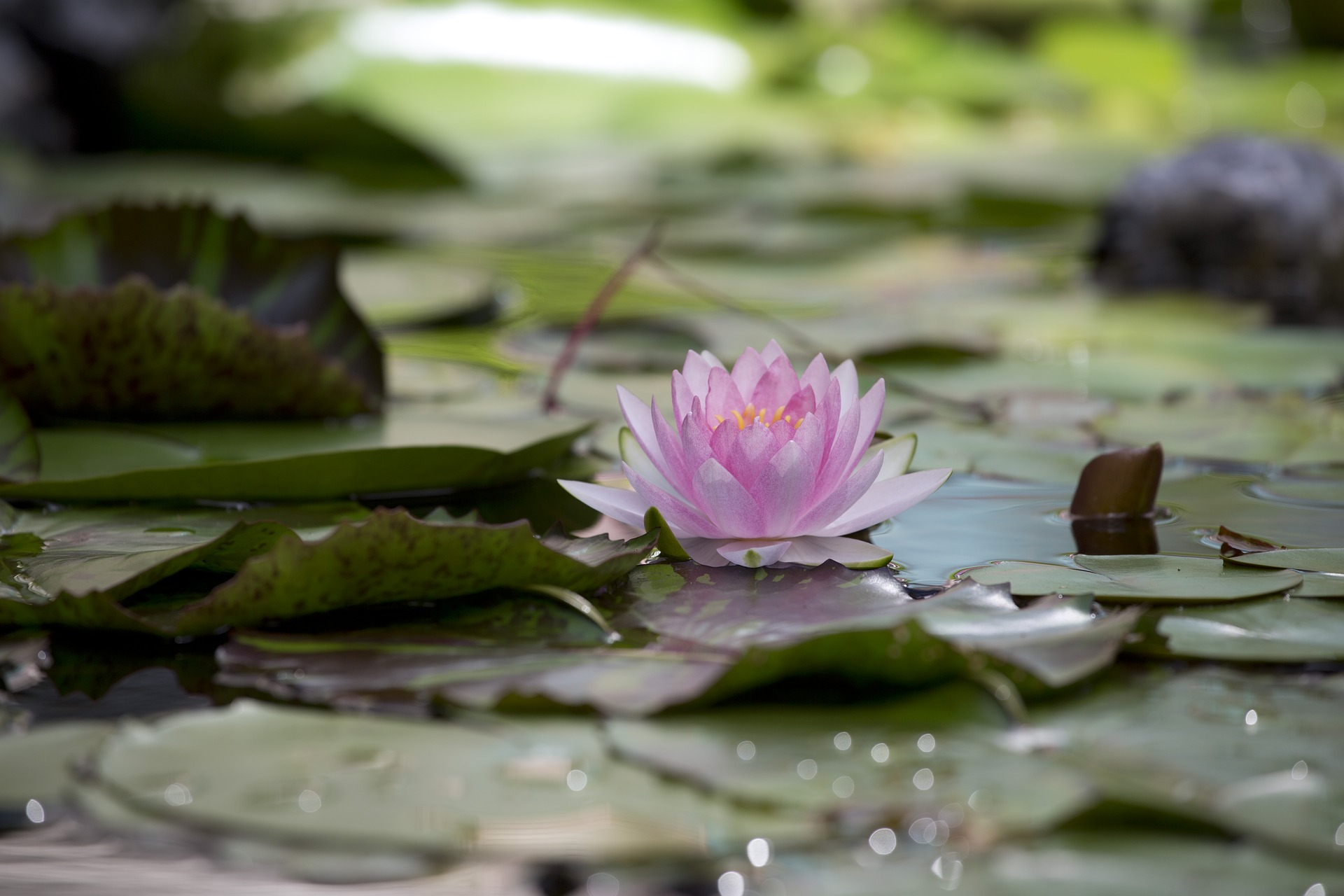 lotus-3492054_1920.jpg