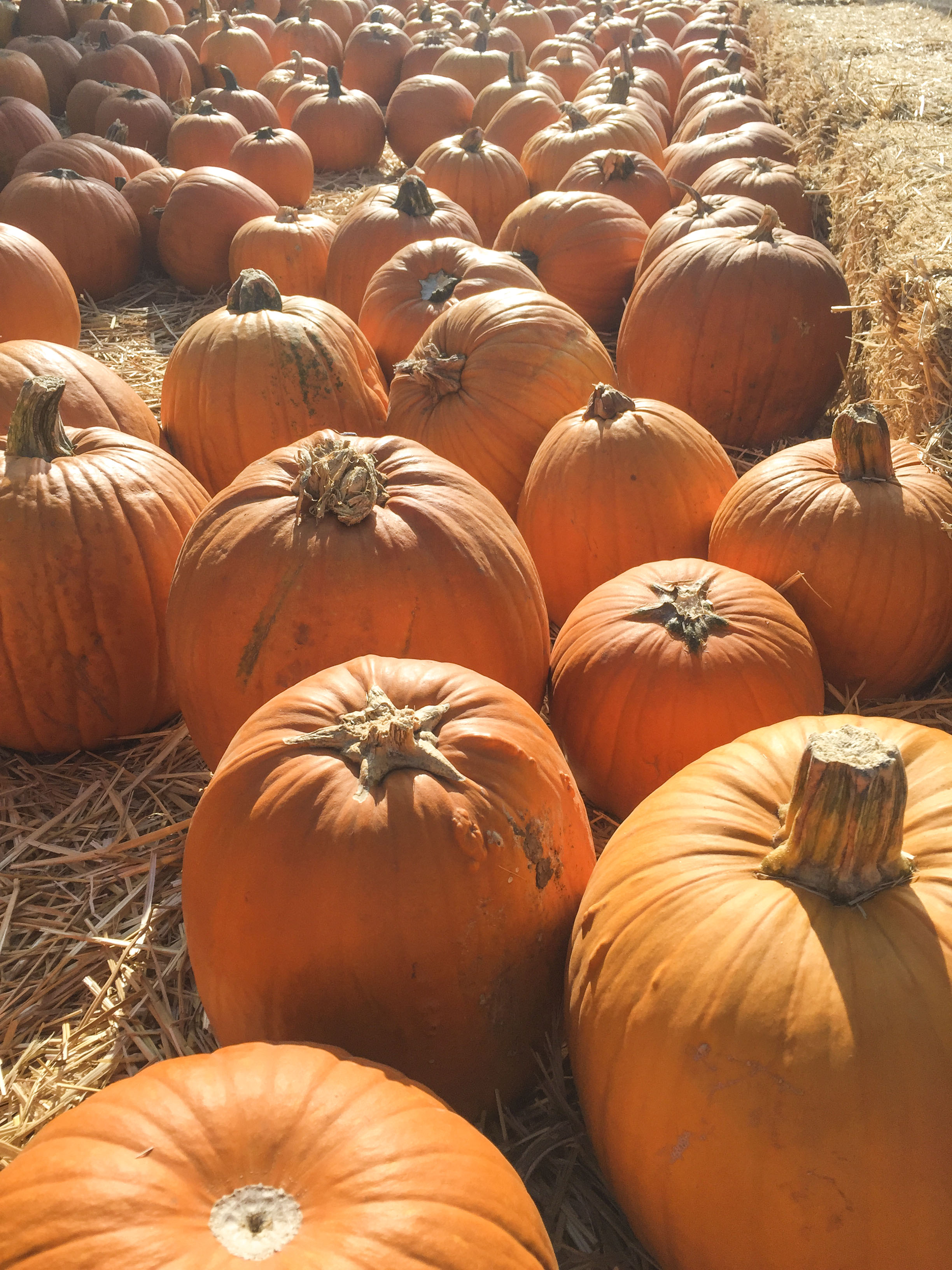 Los_Angeles_Pumpkin_Patch