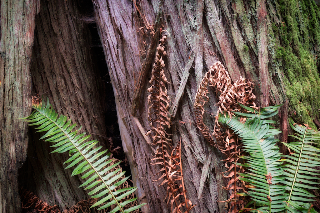 Ferns on cedar