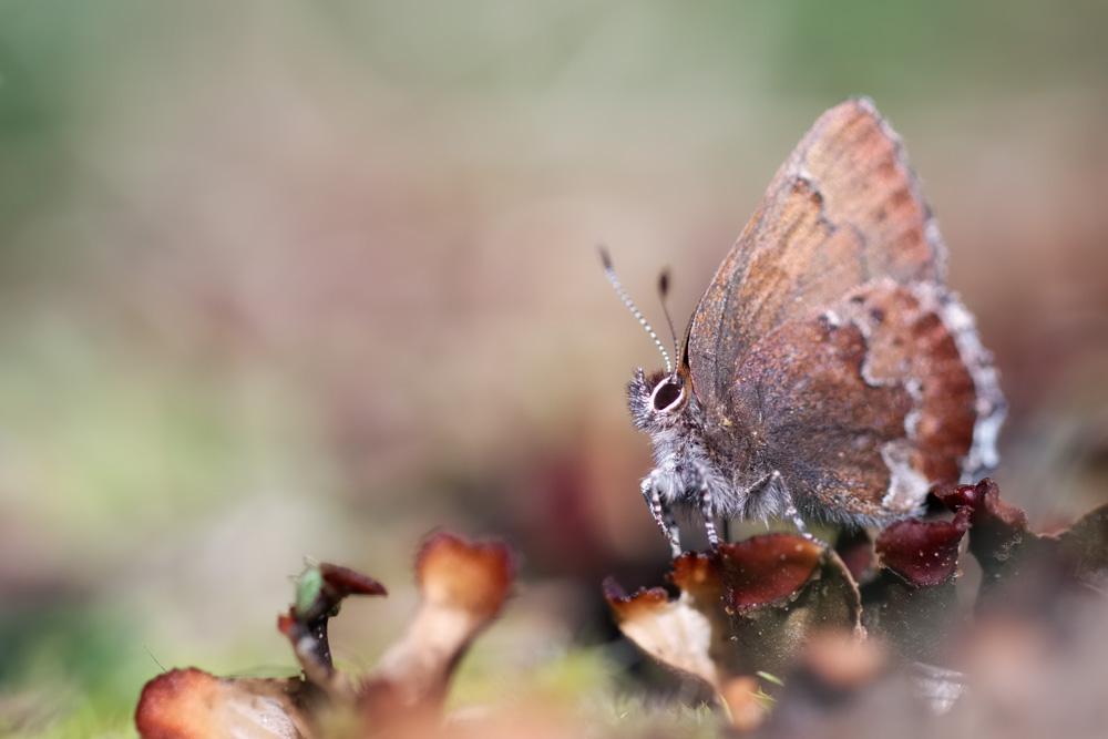 Moss's elfin butterfly