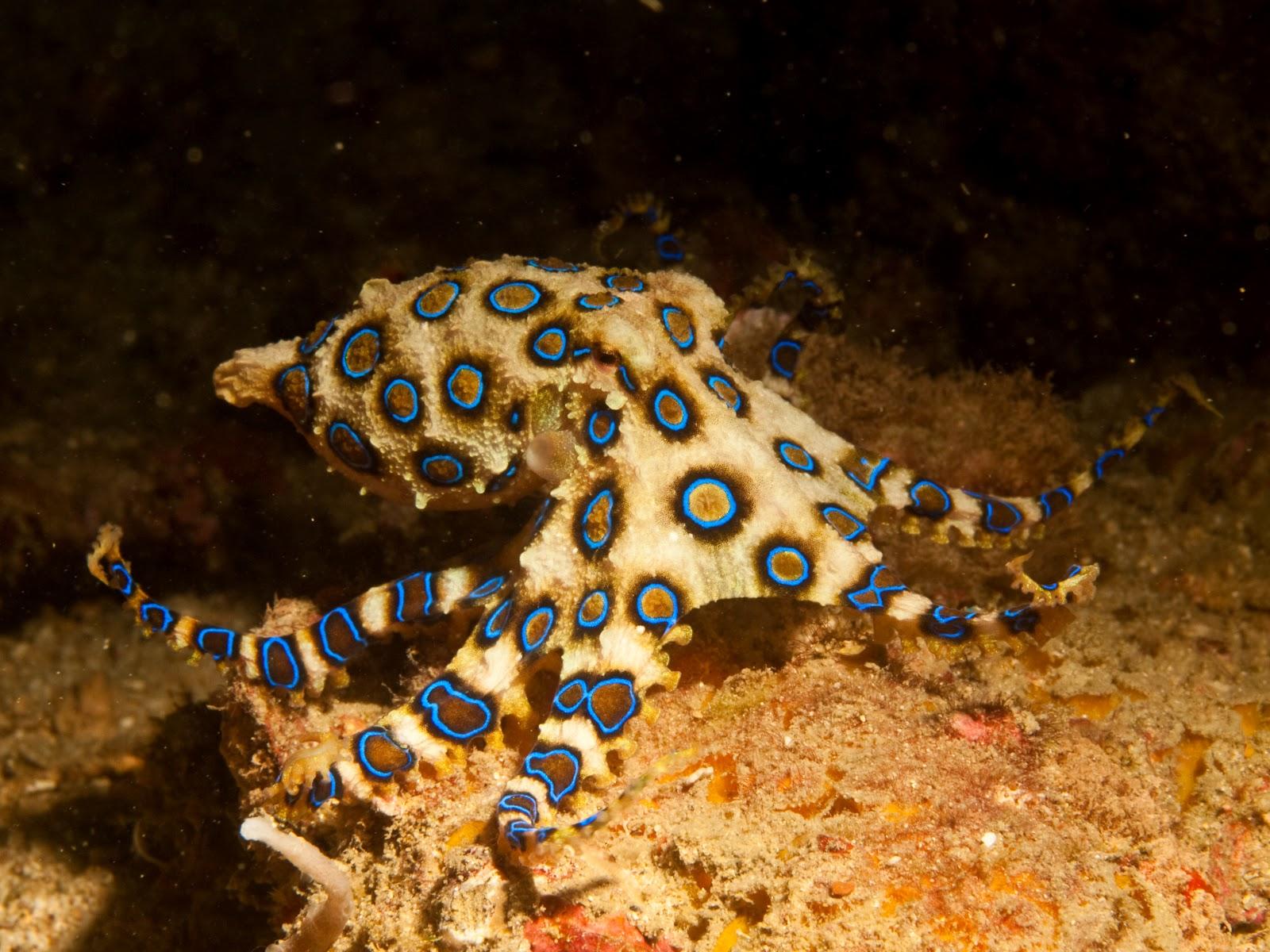 Blue-Ring-Octopus.jpg