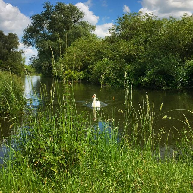 Hello Swan, nice to see you today. #cambridgeshire