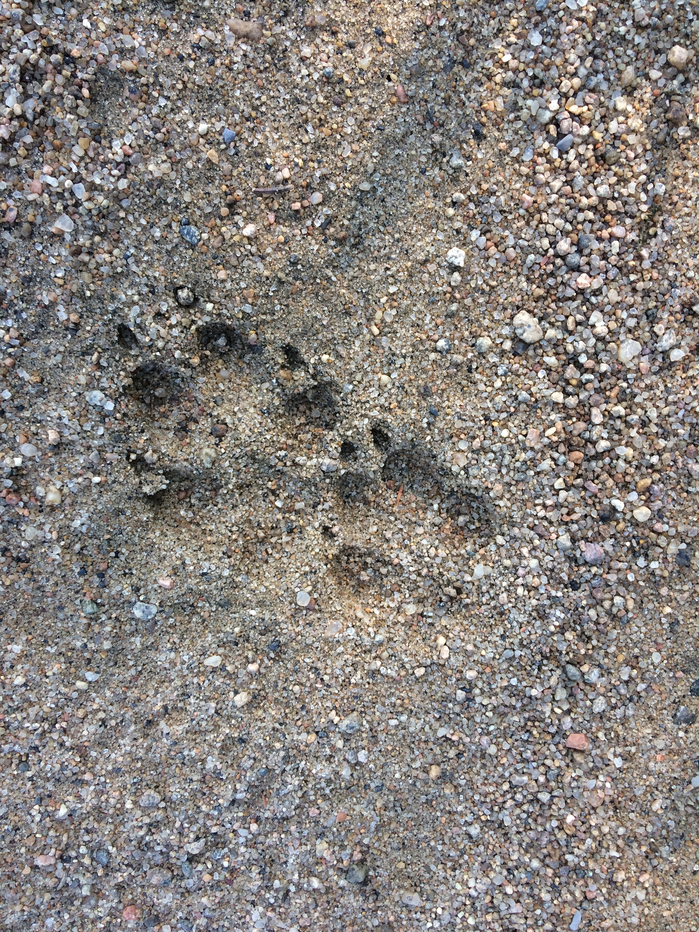 Coyote tracks on the road about a 1/4 mile from our camp. So much wildlife to observe! This place is so special!