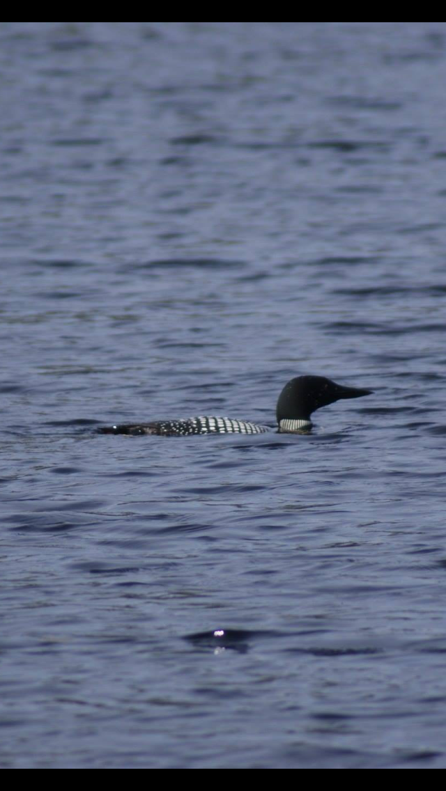 Could not get the loons to call but we had fun watching them catch and eat fish!