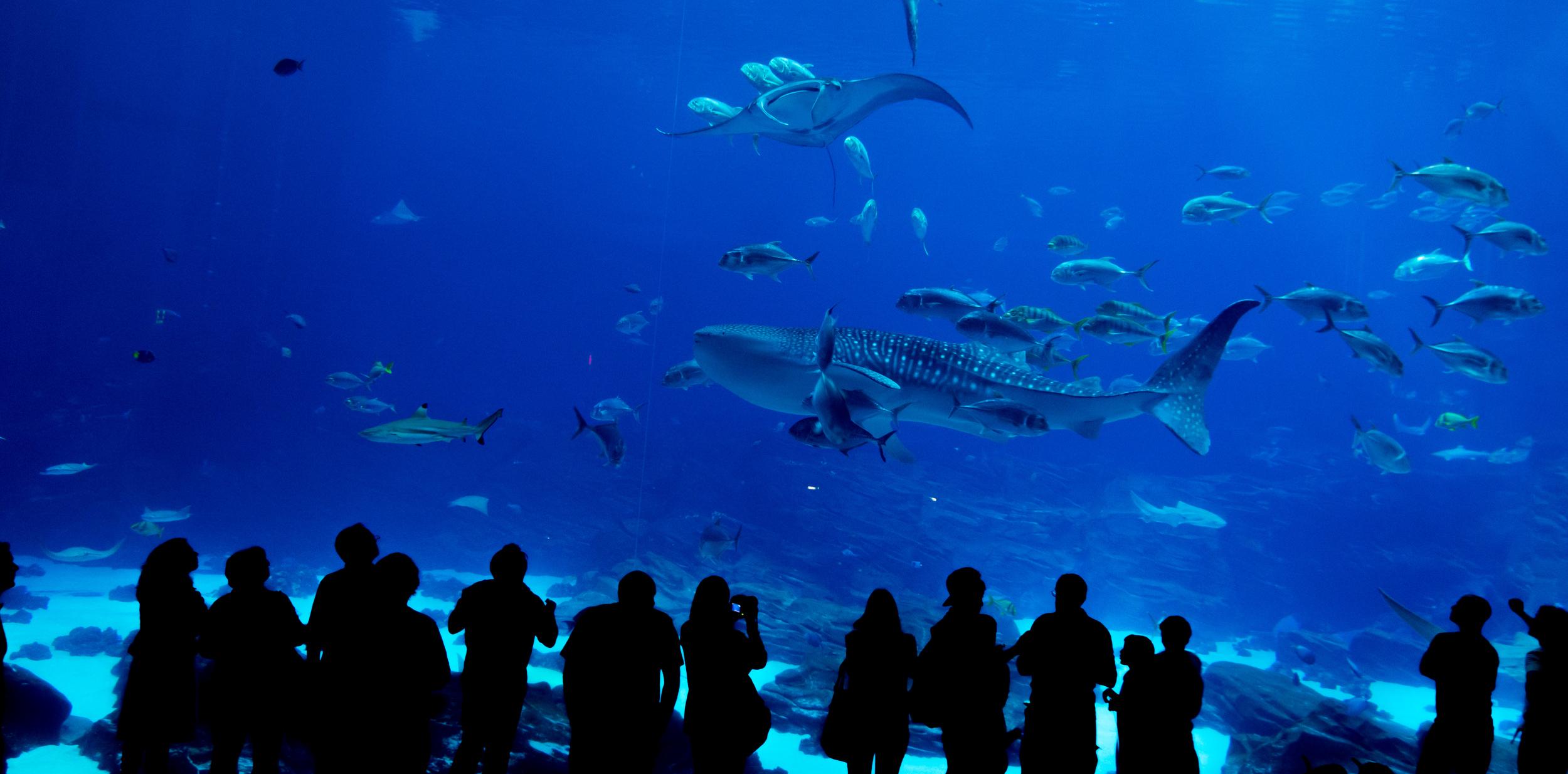 Whale Shark at Georgia World Aquarium