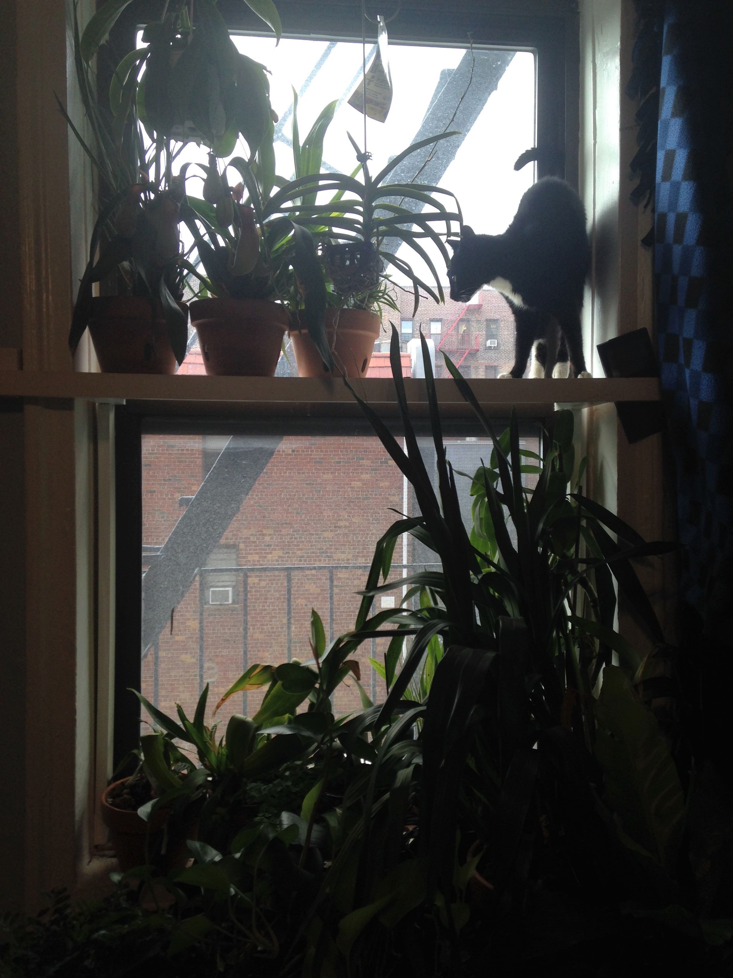 Our bedroom window filled to the brim with orchids and doubling as a cat perch for our little Chaussette.