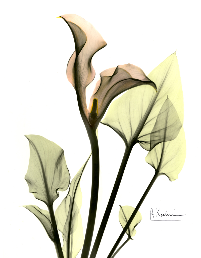Albert's XRays of Calla Lilies propelled him to national attention.