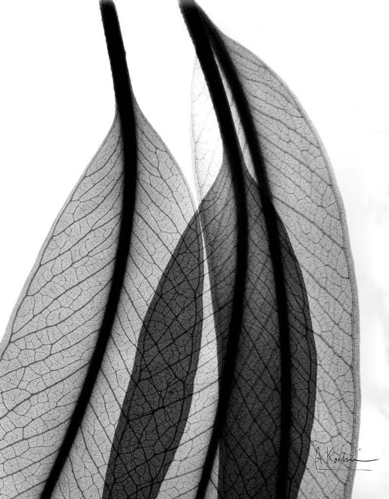 Eucalyptus Leaves X3