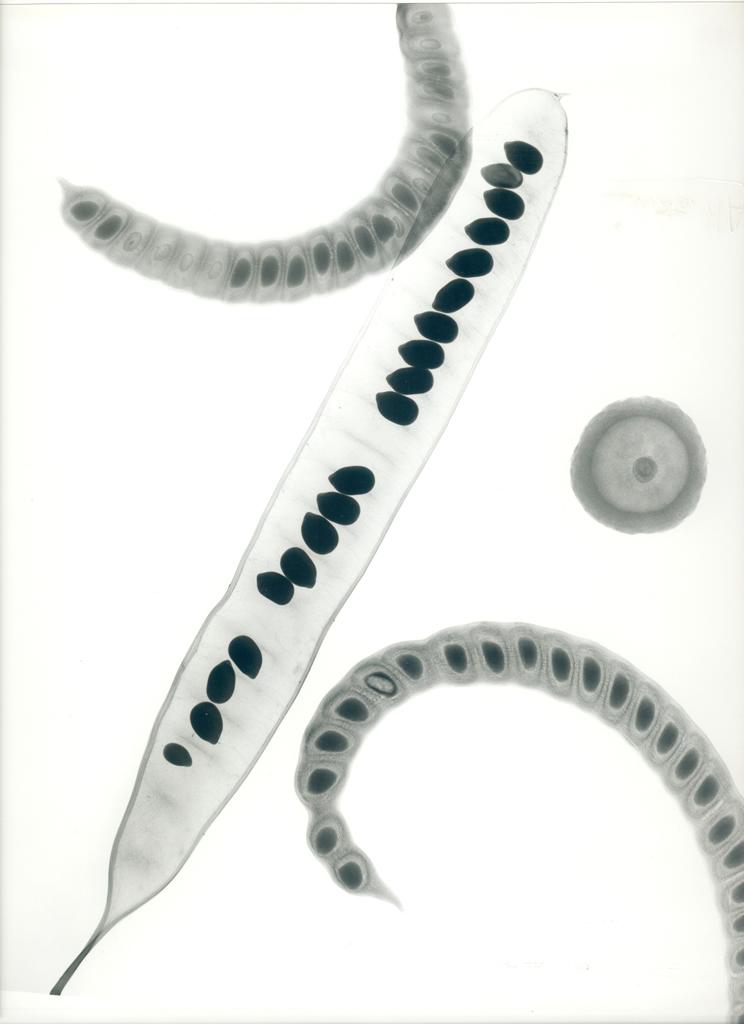 Seedpods E205