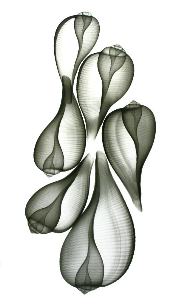 Fig Shells F123