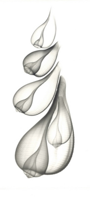 Fig Shells F122