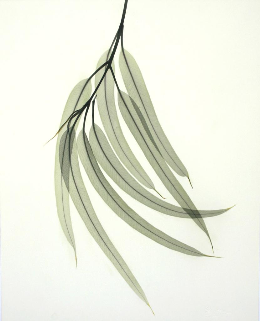 Eucalyptus L130 Color
