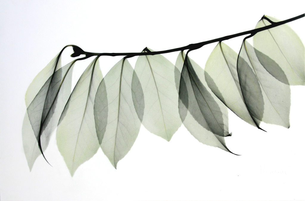 Camellia Leaves L79 Color