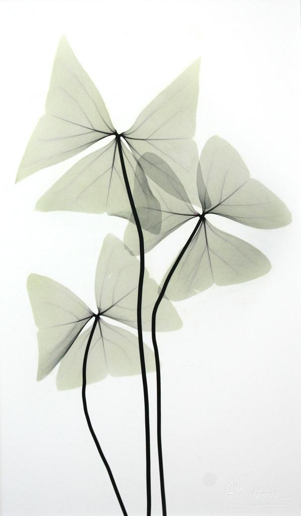 Oxalis Triangularis L267 Color