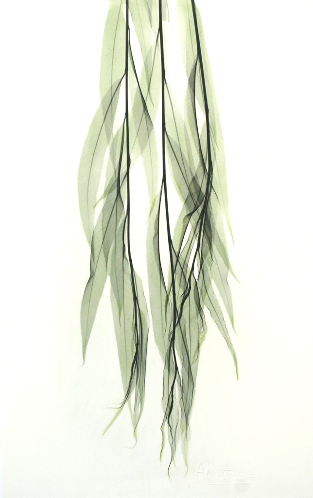 Weeping Willow L94 Color