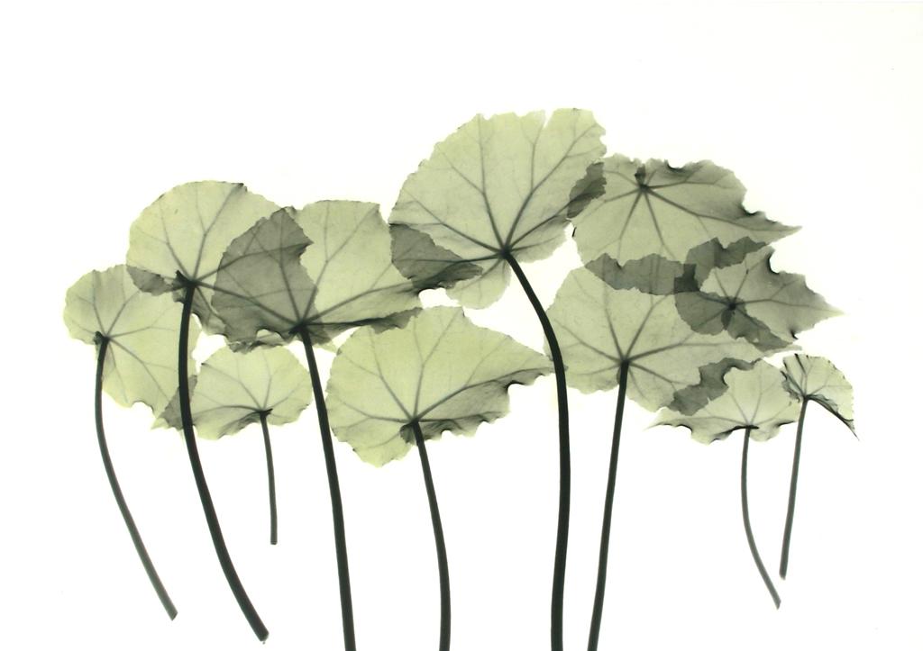 Begonia Leaves L254 Color