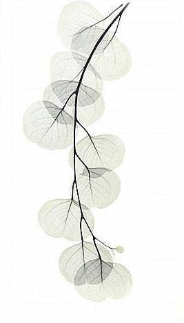 Eucalyptus L195 Color
