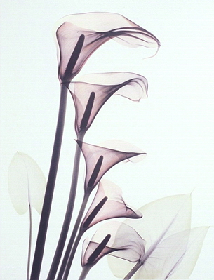 Calla Lily L29 Color