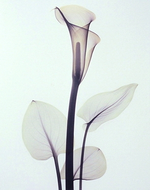 Calla Lily B39 Color
