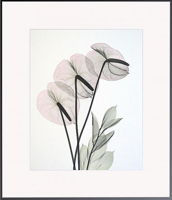 Anthurium H33 Color