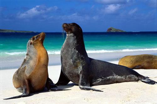 Galapagos sea lions.jpg
