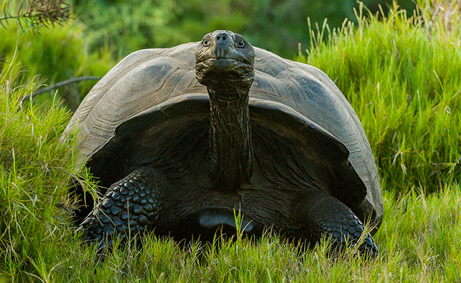 Isabela tortoise.jpg